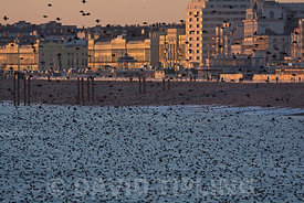 Common Starlings Sturnus Vulgarus arriving to roost on Brighton Pier Sussex winter