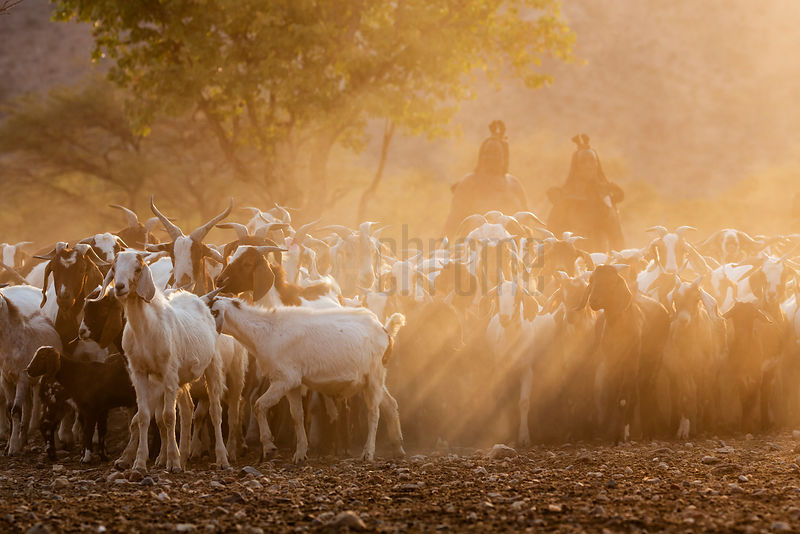 Himba People Herding Goats