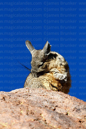 Southern viscacha ( Lagidium viscacia ) grooming itself