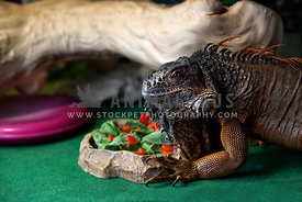 side view of iguana holding on to feeding dish
