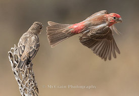 House Finch, male and juvenile
