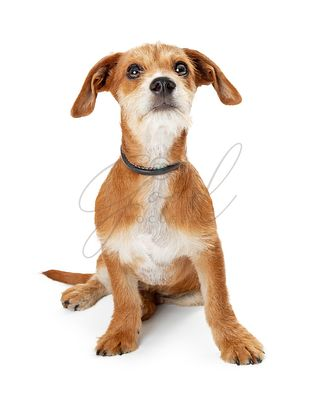 Cute Small Curious Terrier Dog on White