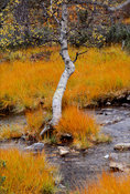 Birch tree in a stream