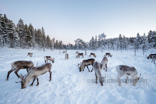 Reindeer herd feeding