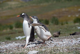 Gentoo Penguin Pygoscelis papua chick begging for food by chasing adult Holmestrand South Georgia January