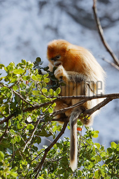 Snub-nosed Golden Monkey Eating in Tree