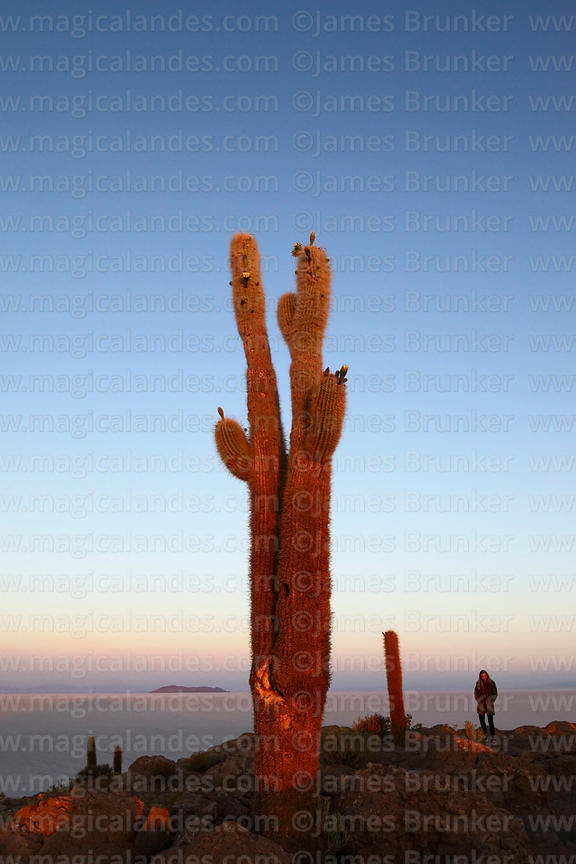 Tourist and forked Echinopsis atacamensis (pasacana subspecies) cactus on summit of Incahuasi Island at sunrise, Salar de Uyuni, Bolivia