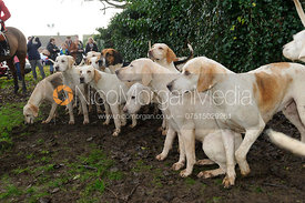 Cottesmore hounds - The Cottesmore Hunt's Boxing Day meet 2013.