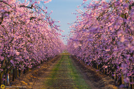 Peach Orchards in Bloom #15