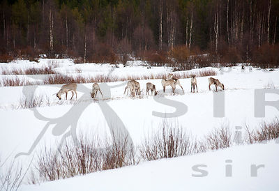 Latu & Polku / Wild Forest Reindeer photos