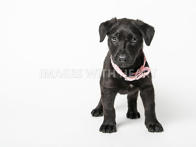 Cute black labrador puppy on plain white background