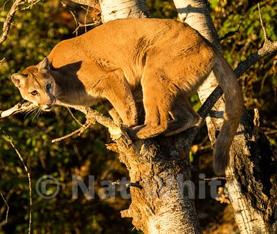 Cougar-Triple_D_wildlife-22017-502-July_31_2017