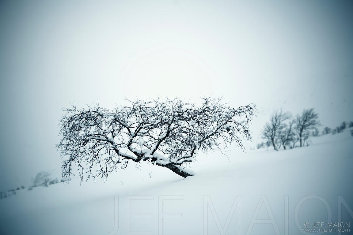 Lone tree in snow