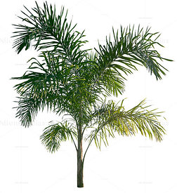 Pupunha Palm tree Isolated