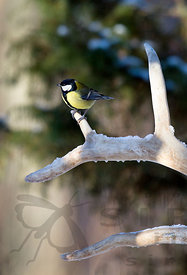 Great Tit on Antler of Wild Forest Reindeer