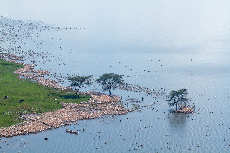 White pelican (Pelecanus onocrotalus) aerial view of colony, Nakuru National Park, Kenya