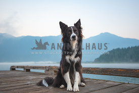 border collie sitting on boat dock with mountains in the background