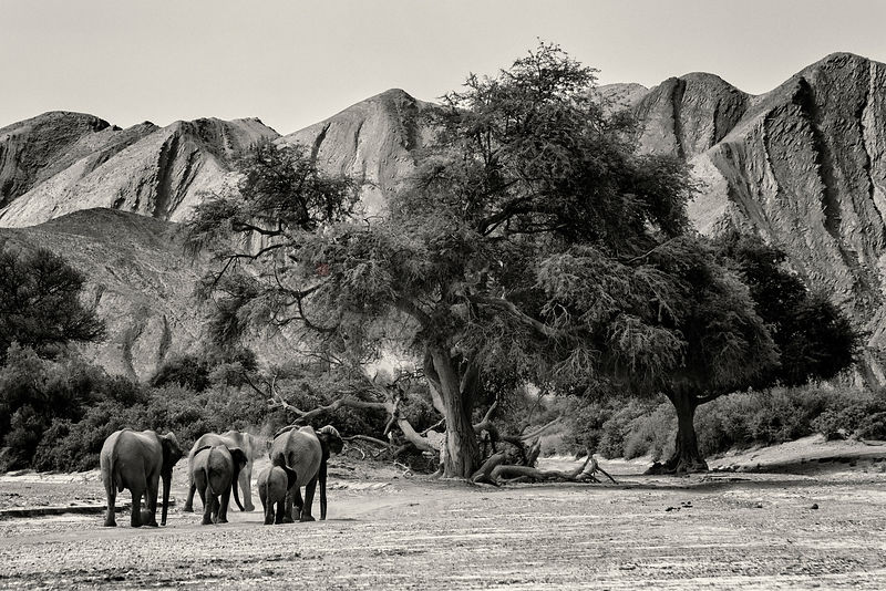 Desert-Adapted Elephants Walking in the Hoanib River