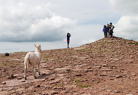 Pen y Fan is the highest peak in South Wales and southern Britain.   Lammas ihmettelee Ben y Fanin laelle kivunneita vaeltajia. Brecon Beacons kansallispuisto, Wales.