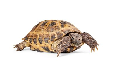 Russian Tortoise Crawling On White