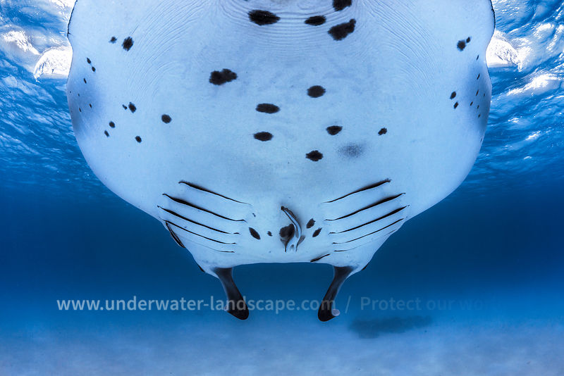 Manta Ray in the mayotte lagoon- Giant ray seen by a remora