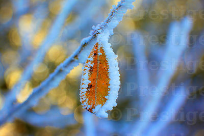Frosty brown leaf