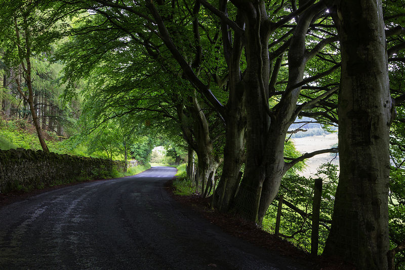 Alley of Trees at Winlatter Pass