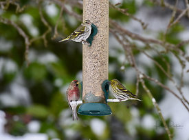 Redpoll and siskin on a bird feeder
