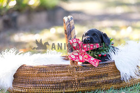 Christmas Labrador Puppy