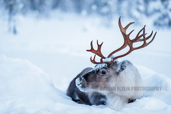 Close-up of a reindeer lying in the snow