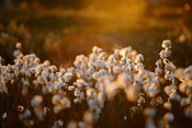 Cotton grass in warm sunset light