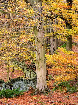 Autumn in Stand Wood, Chatsworth