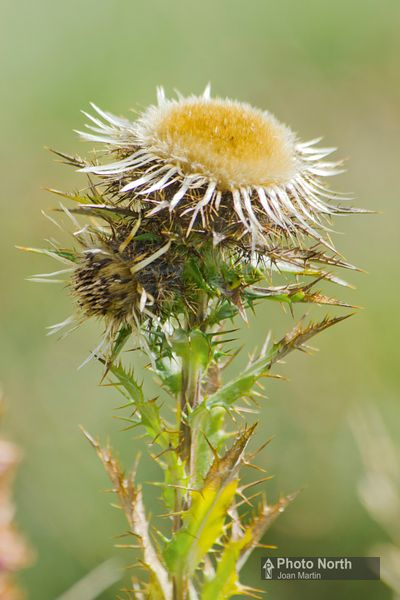 THISTLE 15A - Carline thistle