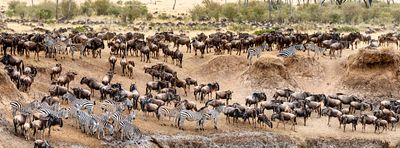 Wildebeest and Zebra Migration Web Banner