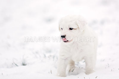 White puppy in snow