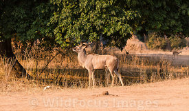 Male Greater Kudu (Tragelaphus strepsiceros) at Mucheni #3 camp, Mana Pools National Park, Zimbabwe; Landscape