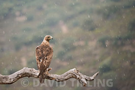 Golden Eagle Aquila chrysaetos in rain Arribes del Duerro Spain June