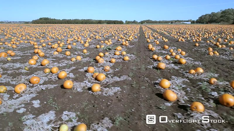 Pumpkin Farm at Harvest Time