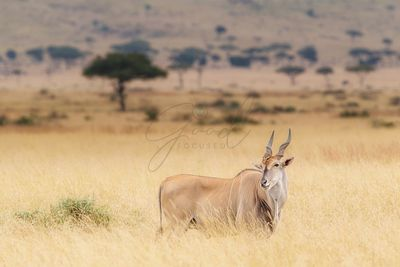 Eland in Kenya With Oxpecker on Head
