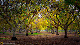 Fall in the Walnut Orchards #12