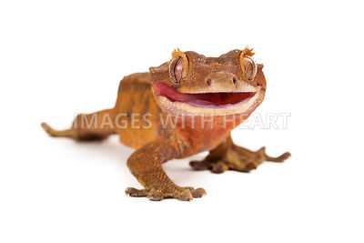 Crested Gecko Licking Lips