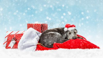 Tired Santa Dog With Christmas Presents in Snow