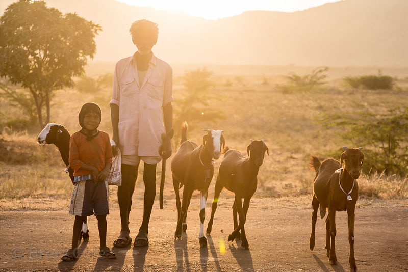 Goat herder and his grandson in the golden rays of sunset, Kharekhari village, Rajasthan, India