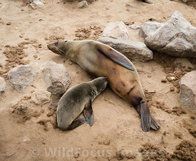 Young Cape Fur seal having a drink from mum, Arctocephalus pusillus pusillus, Cape Cross Seal Colony, Skeleton Coast, Namibia; Landscape