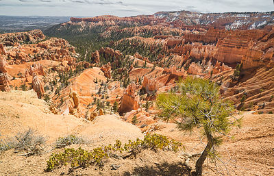 Young Solitary Pine Tree- Bryce Canyon, Utah