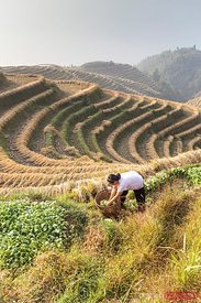 Chinese Zhuang minority worker on rice paddy China