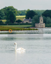 Swans on Rutland Water, with Normanton Church