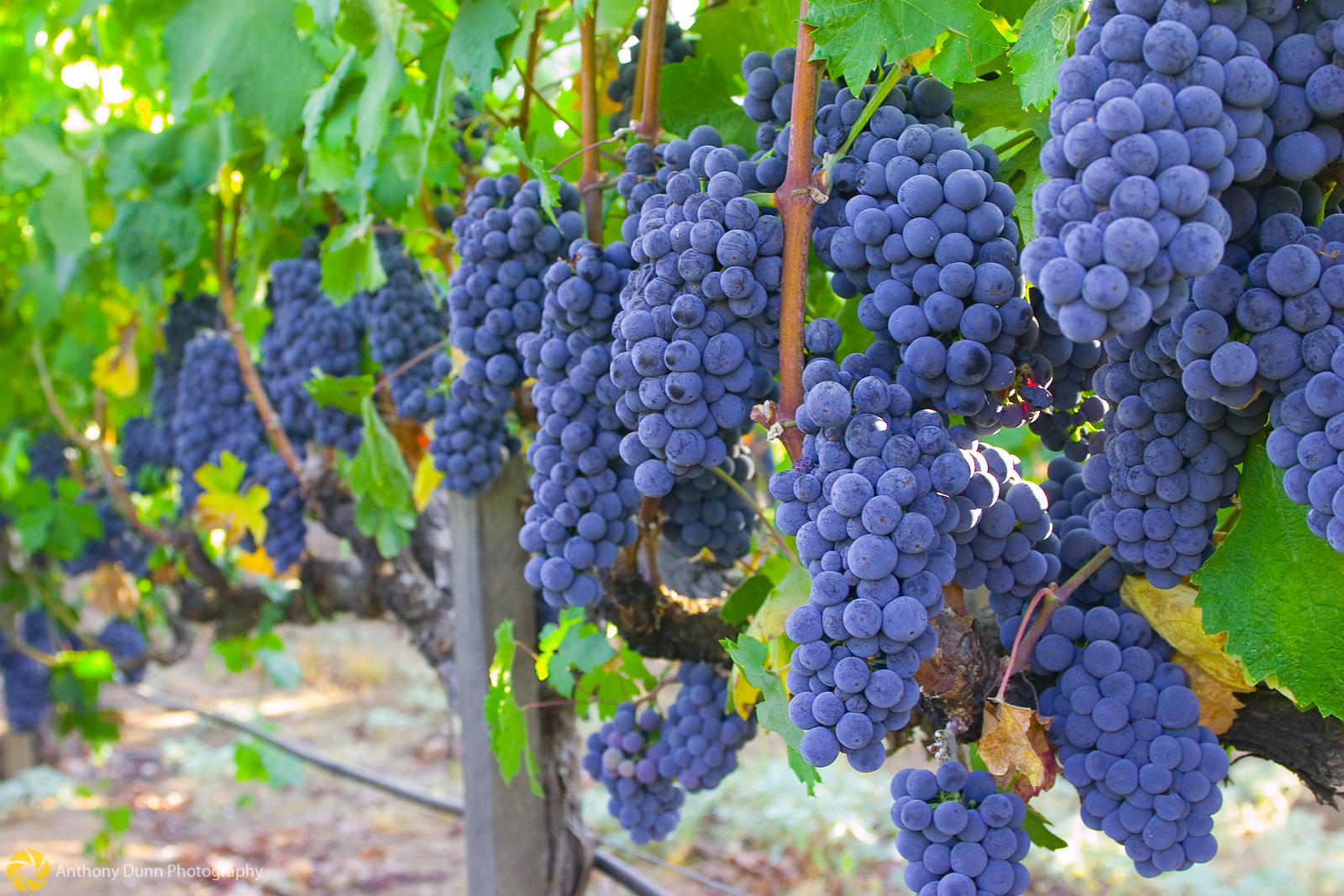 Ripe Grapes, Wilderotter Vineyards #5
