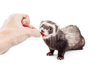 Ferret Being Fed a Treat