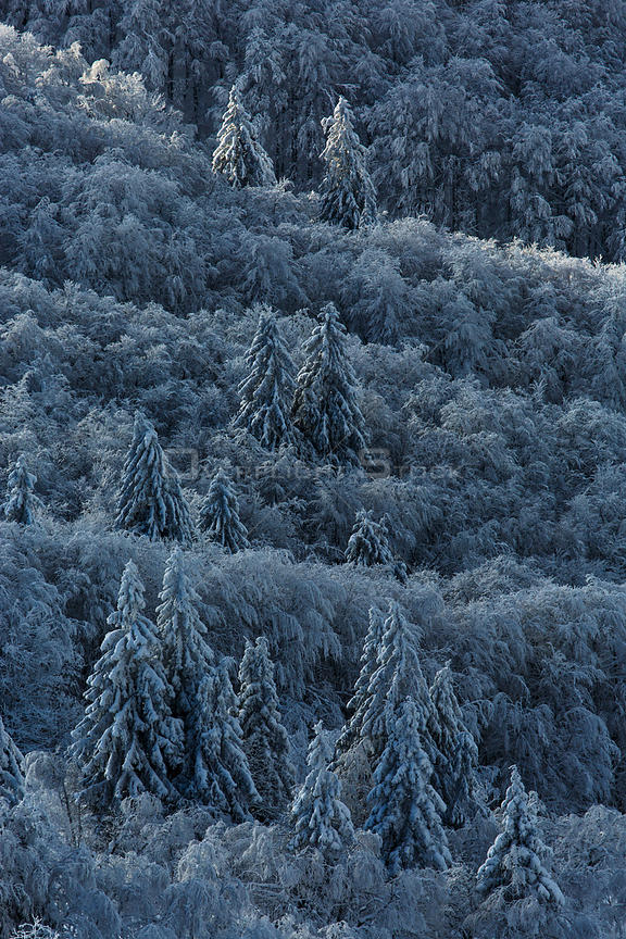Coniferous forest covered in snow, Vosges Mountains, France, November 2013.